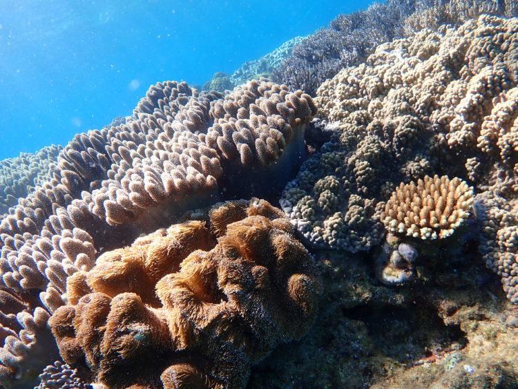 読谷海人倶楽部のシュノーケリングコースで見れるサンゴ礁